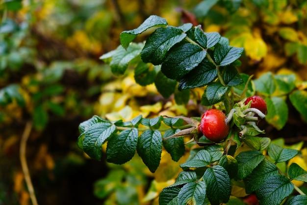 Rote blätter und früchte von waldbeeren im spätherbst. sonniges warmes herbstlicht, rote und gelbe farbe.