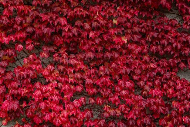 Rote blätter von wilden trauben zierten die wand