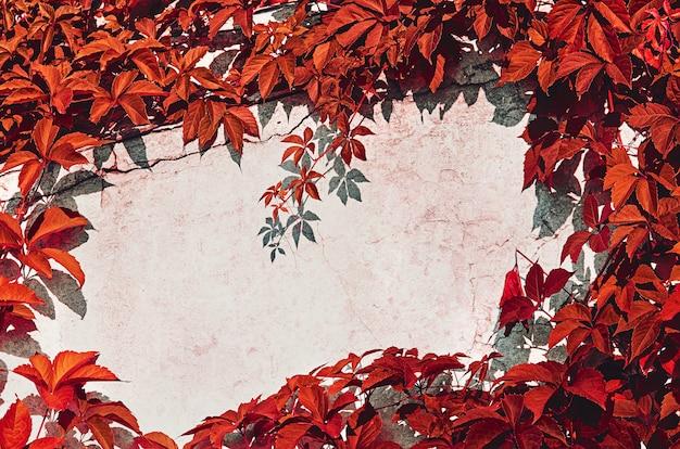 Rote blätter von wilden weintrauben umrahmen die betonwand