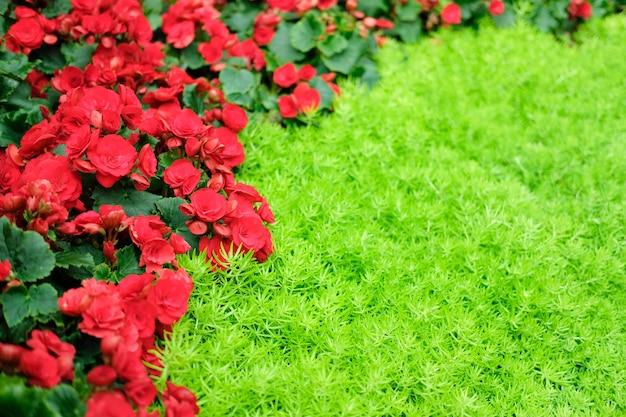 Rote blühende begonienpflanze, die im blumengarten wächst