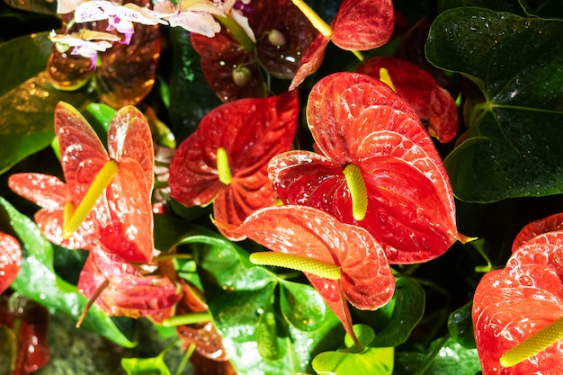Rote blühende spatiphyllumblume wächst in einem gewächshaus.