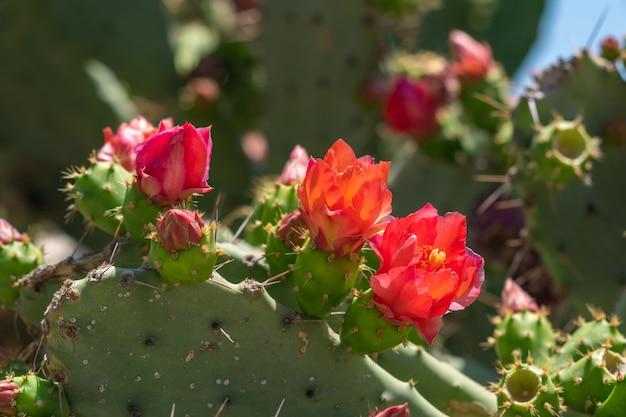 Rote blüte des feigenkaktus