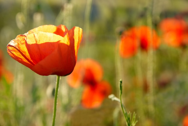 Rote blüten mit grünem gras