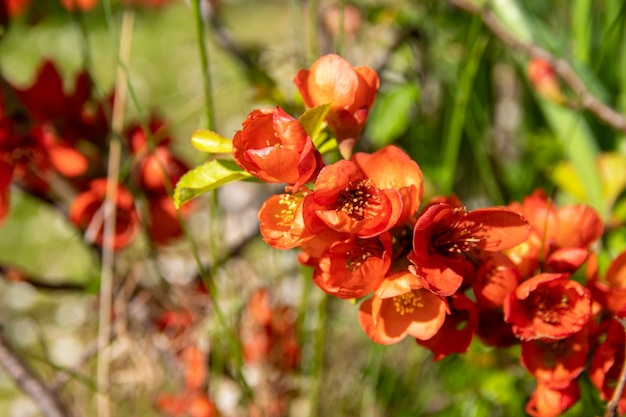 Rote blüten von chaemnomeles japonica quitte