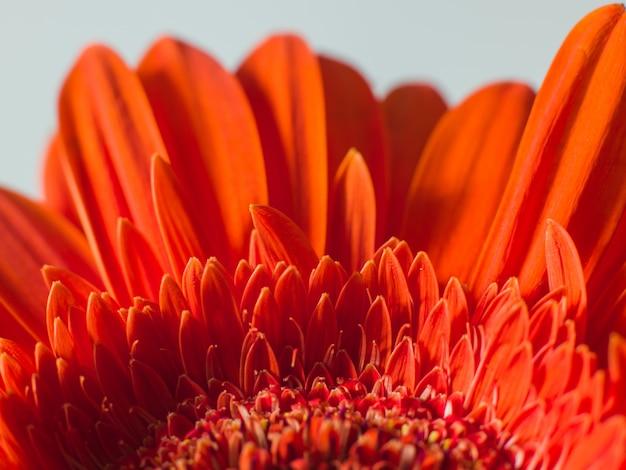 Rote blütenblätter einer schönen chrysanthemenblume
