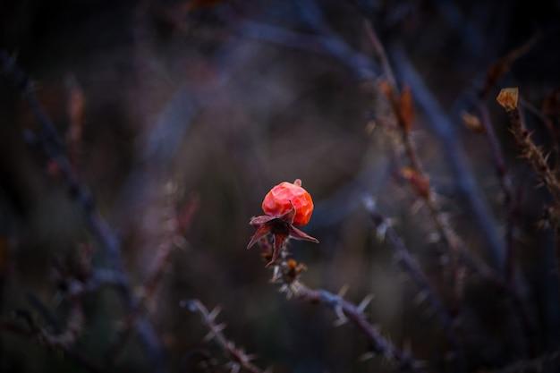 Rote blume auf einem dicken trockenen zweig mit dornen