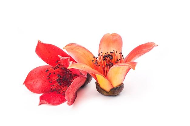 Rote blume bombax ceiba auf weißer wand