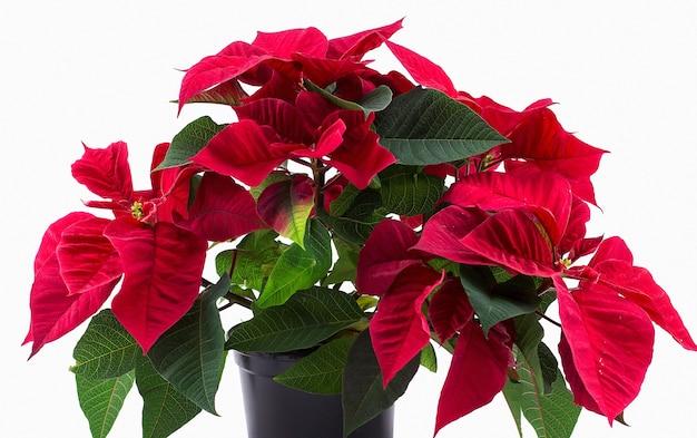 Rote blume eingemachter weihnachtsstern