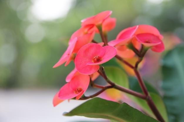 Rote blume, euphorbia milii