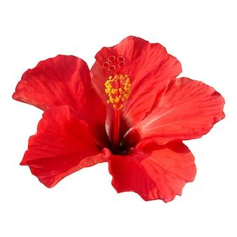 Rote blume - hibiscus rosa sinensis, lokalisiert auf weiß