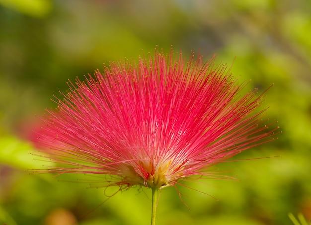 Rote blume mit dornigen blütenblättern