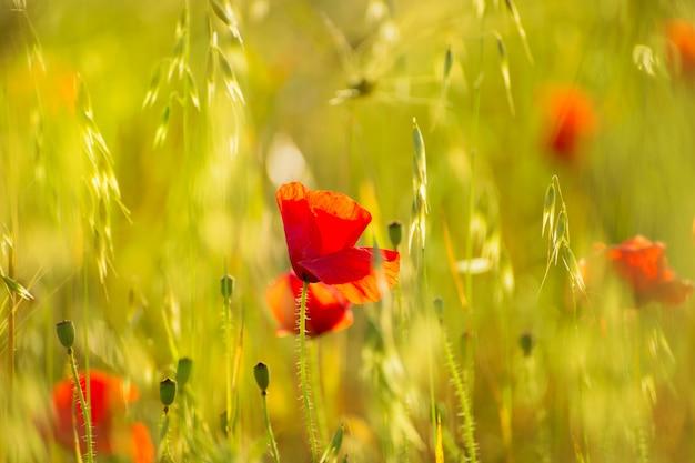 Rote blumen der mohnblumen-mohnblume in menorca-frühlingsgebieten