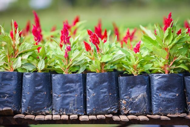 Rote blumen des hahnenkamms in der kindertagesstätte draußen celosia argentea, fuchsschwanzamarant - hahnenkammblume in der schwarzen plastiktasche