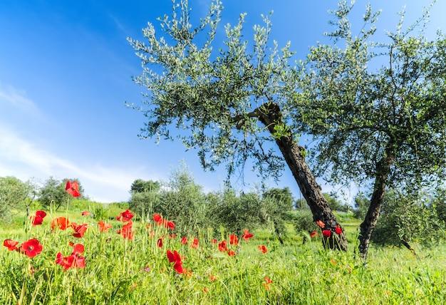 Rote blumen und olivenbaum am frühling
