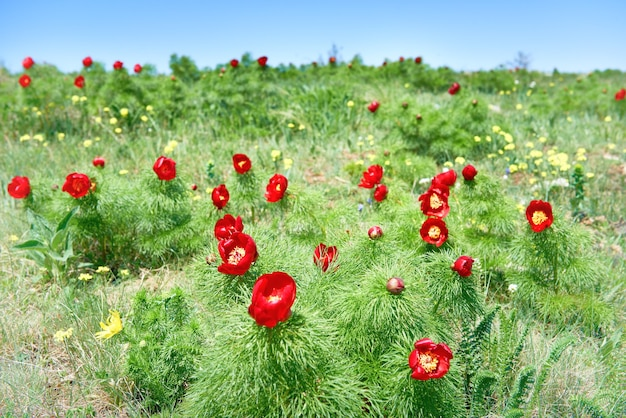Rote blumenmohnblumen auf feld mit grünem gras und blauem himmel