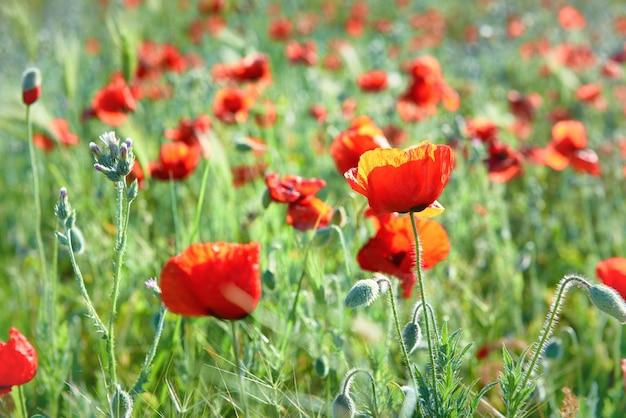 Rote blumenmohnblumen auf feld mit grünem gras