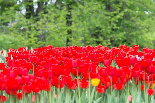 Rote blumentulpen im grünen schönen park