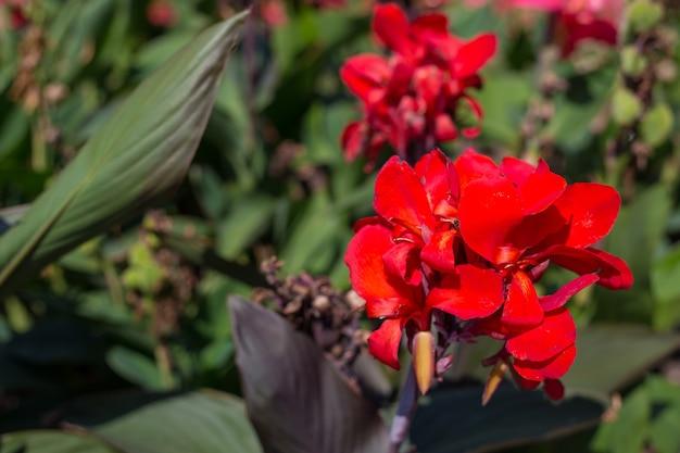 Rote canna-lilie oder essbare canna-blumen im park, naturhintergrund.