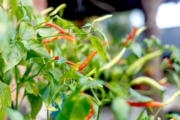 Rote chili-pflanze