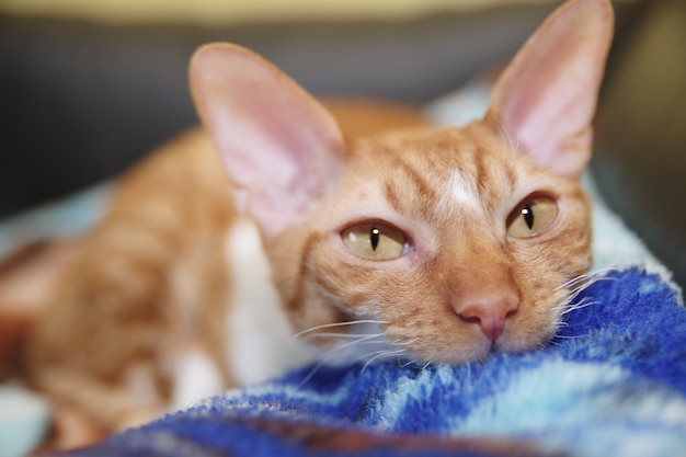 Rote cornish rex katze liegt auf einem sofa