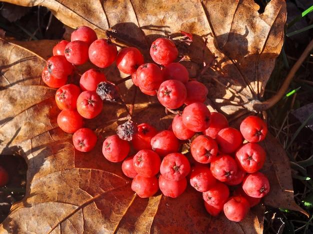 Rote eberesche gefallene beeren auf dem boden mit den blättern. herbst- oder winterthema.