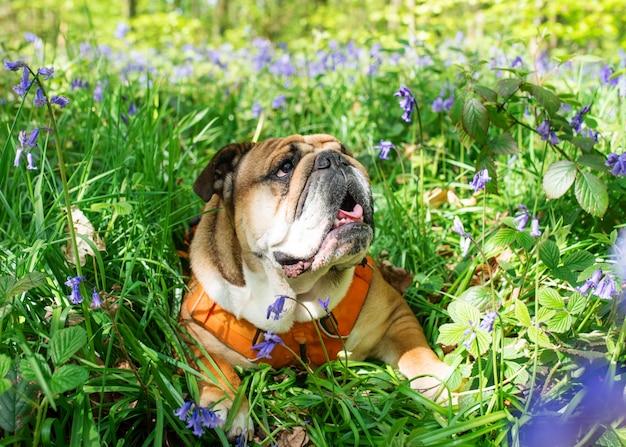 Rote englische bulldogge schaut auf, leckt seine zunge im orangefarbenen geschirr aus und sitzt in den glockenblumen am heißen frühlingstag