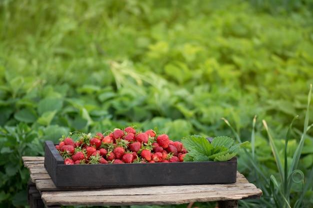 Rote erdbeeren in einer holzkiste. erdbeerfarmkasten im garten. schachteln mit erdbeeren