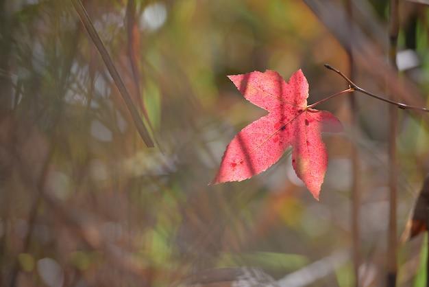 Rote farbahornblatt während des herbstes im süden von japan