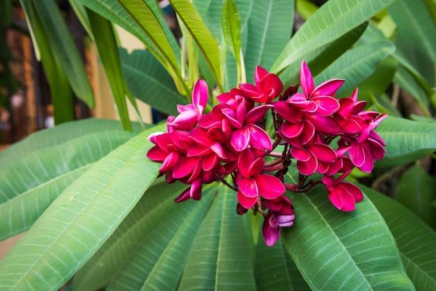Rote farbe von plumeriablumen mit blättern