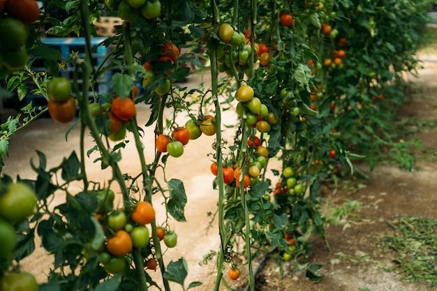 Rote frische reife tomaten im gewächshaus. ökologische ernte