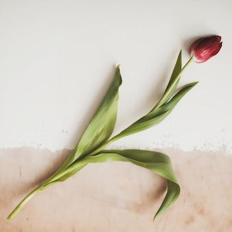 Rote frische tulpe auf hellem hintergrund