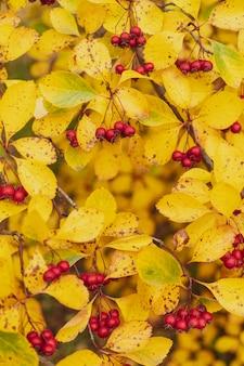Rote früchte von weißdorn. gelbe blätter