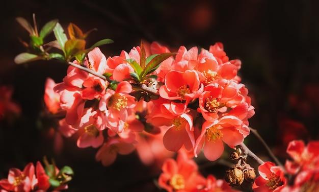 Rote frühlingsblumen. blühende chaenomeles (blühende quitte, japanische quitte)