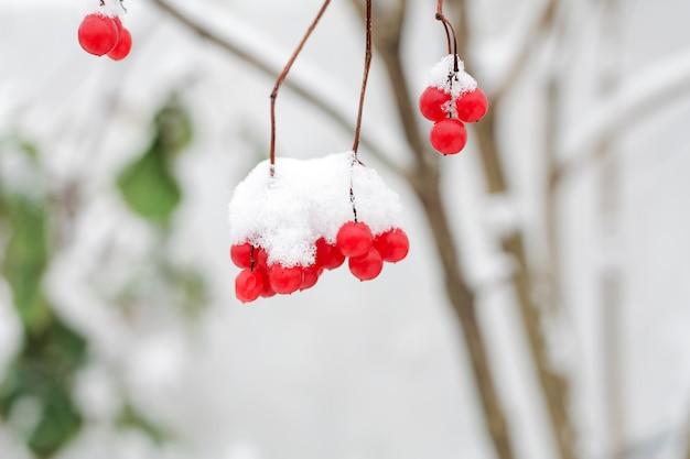 Rote gefrorene beeren auf den niederlassungen im schnee.