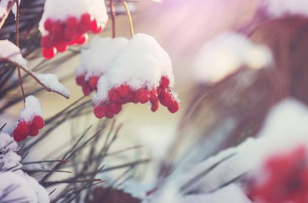 Rote gefrorene beeren viburnum in der wintersaison
