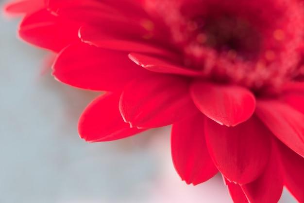 Rote gerberablume - makroblumenblätter des roten gänseblümchens auf grünem hintergrund