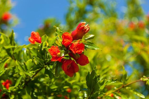 Rote granatblüten auf einem zweig, strauch und granatapfelblüten