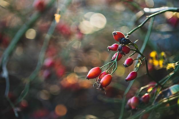 Rote hagebutte auf einem zweig im sonnigen herbstwetter