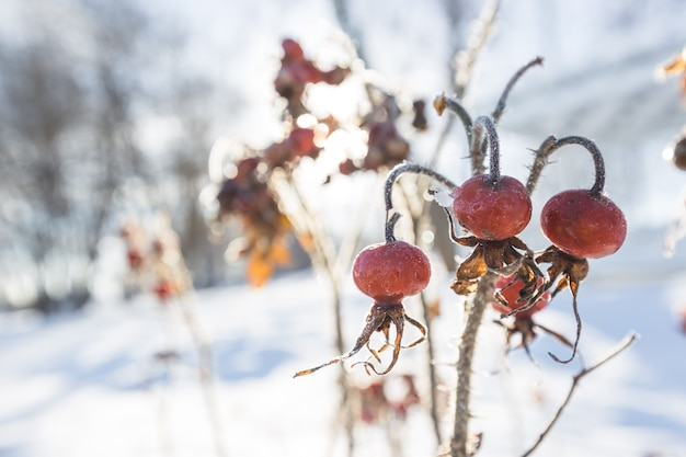 Rote hagebutten im winter unter frost