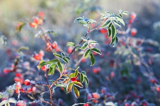 Rote hagebuttenbeeren mit eis. erster frost im herbst. raureif auf dogrosezweigen fna blätter.