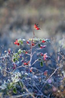 Rote hagebuttenbeeren mit schnee. ein wilder rosenstrauch mit frost. erster frost im herbst. raureif auf dogrosezweigen.