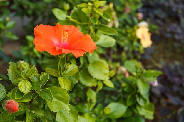 Rote hibiscusblume auf tropischem garten