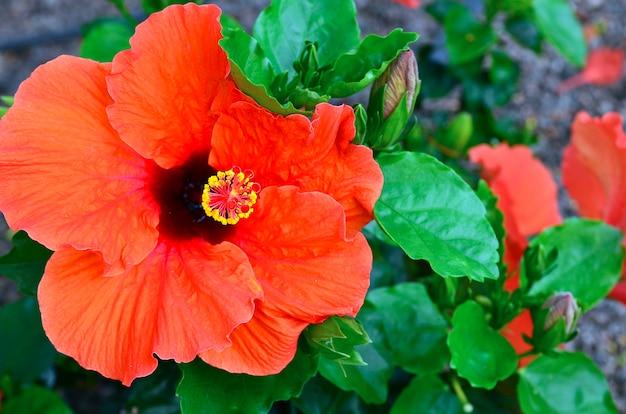 Rote hibiscusblume in einem tropischen garten