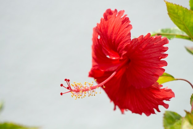 Rote hibiskusblüten der natur.