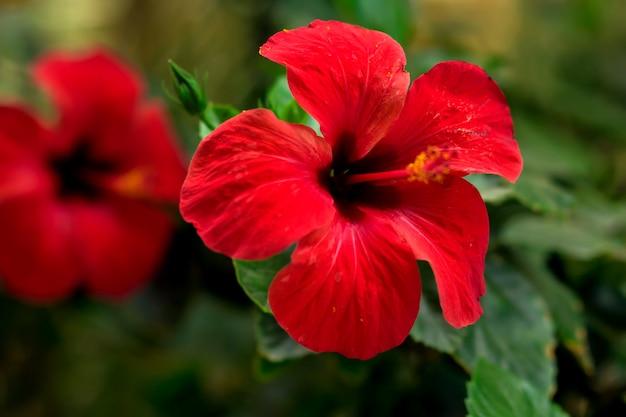 Rote hibiskuspflanze (karkade) im garten. flora konzept