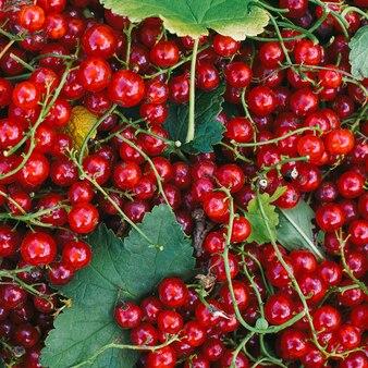 Rote johannisbeere frische vitamine bio-lifestyle