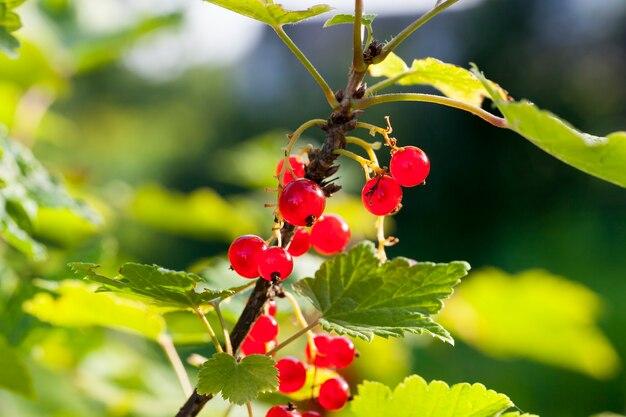 Rote johannisbeeren auf den zweigen des busches, sommer, schmutzige beeren und in staub verschmiert, schale