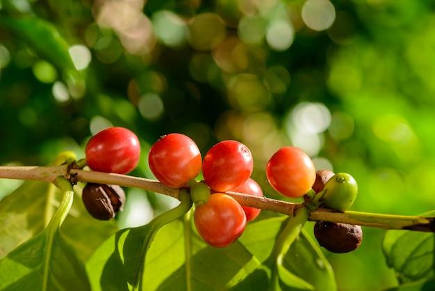 Rote kaffeebeeren auf pflanze in nahaufnahme mit defokussiertem grünem laubhintergrund