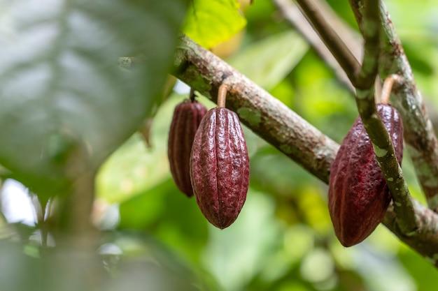 Rote kakaobohne auf dem baum in indonesien, nahaufnahme