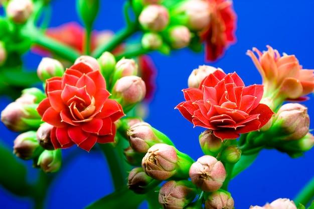 Rote kalanchoe-blüte